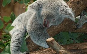 Австралийская семья обнаружила на своей новогодней елке живую коалу