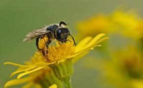 Немецкие учёные будут лечить коронавирус при помощи пчелиного яда