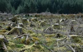 Криминальный лес или как китайцы «вырубают» Россию