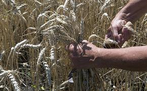 Кто покушается на гордость президента - независимое российское пшеничное семечко