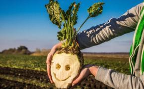 В России увеличат посевы сахарной свёклы
