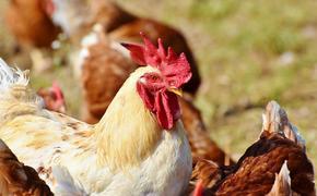 ВОЗ не рекомендовала вводить ограничения на поездки и торговлю с Россией из-за птичьего гриппа А(H5N8): риск передачи низкий