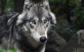 В Воронежской области мужчина задушил напавшую на него бешеную волчицу