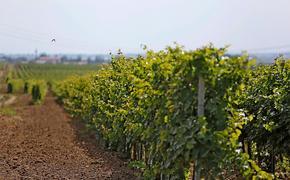 Инвентаризацию земель под виноградники проведут на Кубани