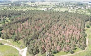 Почему сосновый лес в Волгоградской области желтый?