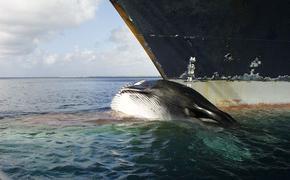В судоходстве появилась новая экомаркировка, которая указывает, что судно «Безопасно для китов»