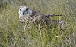В заповеднике Хакассии восстановят популяцию балабанов