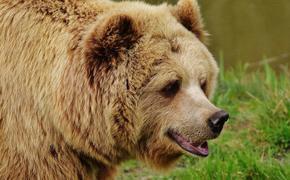 Туристы рассказали, как медведь напал на их друга из Ессентуков на Арданском хребте в Красноярском крае