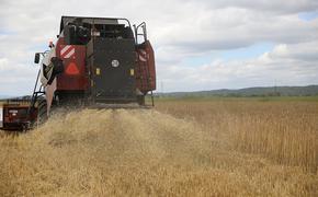 Зерновые культуры радуют своей урожайностью аграриев Приморья