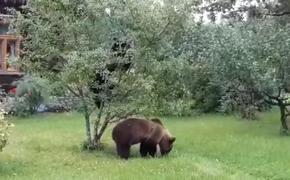 В Латвии небывалое нашествие медведей
