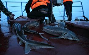 Хабаровские браконьеры наловили осетров на 11 млн рублей