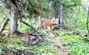 Амурского тигра впервые удалось сфотографировать на севере Хабаровского края