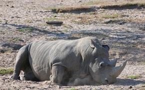 В зоопарке Сан-Диего скончался последний в мире самец белого носорога