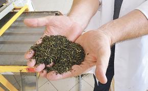 Краснодарский чай–  собственная гордость