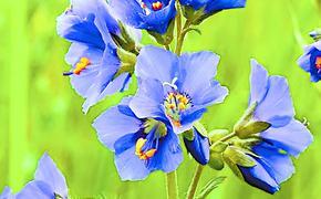 Лазоревая синь влажного сада