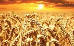 Зерновой козырь