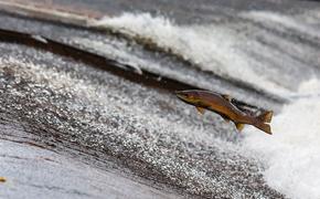 В Петербурге и Ленобласти ищут похитителей  25 тонн масляной рыбы