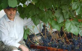 Виноград с вятской пропиской