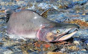 По данным Росрыболовства, объём добычи тихоокеанских лососей сократился на 38,6% по сравнению с прошлым годом