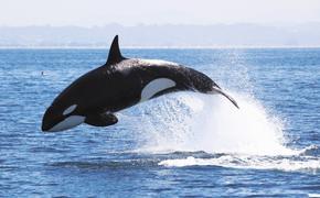 Минсельхоз подготовил законопроект, направленный на сохранение китообразных