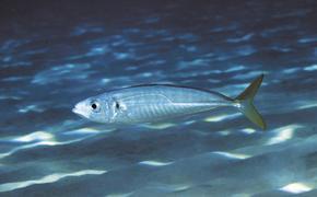 Российские рыбаки обнаружили в Тихом океане огромные косяки ставриды
